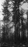 Wendell State Forest Deforestation -needlessly girdled tree - image 2